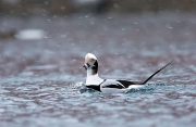 Longtailed duck