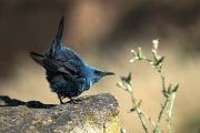 blue rockthrush